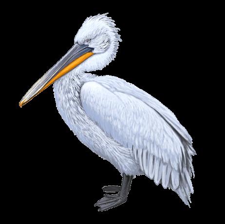 Pelecanus-crispus