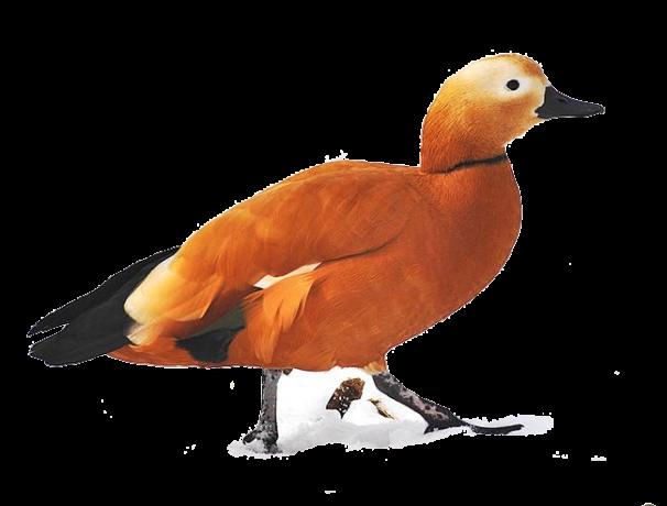califarul-rosu