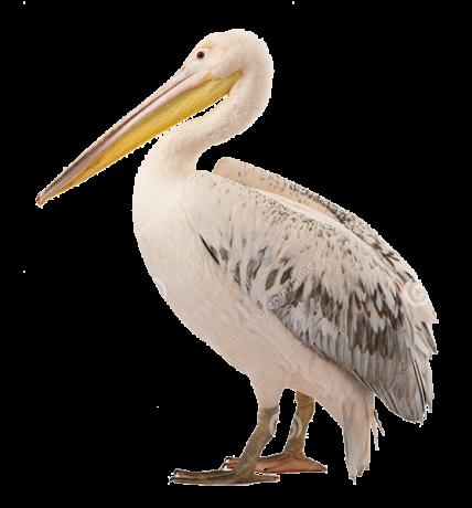 pelicanul-comun